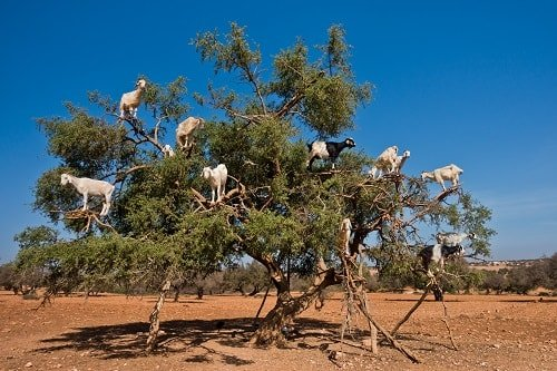goats in trees along the route